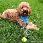 Red goldendoodle dog lying on green grass with paws in front of dog and stylish trophy for BlogPaws Nose-to-Nose Social Media and Blogging award for Best New Pet Blog and dog's favorite tennis ball