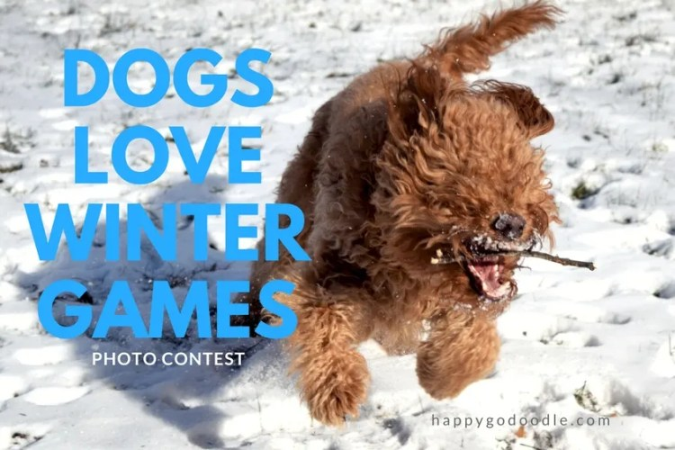 red goldendoodle dog running in snow with stick in mouth and title dogs love winter games photo contest