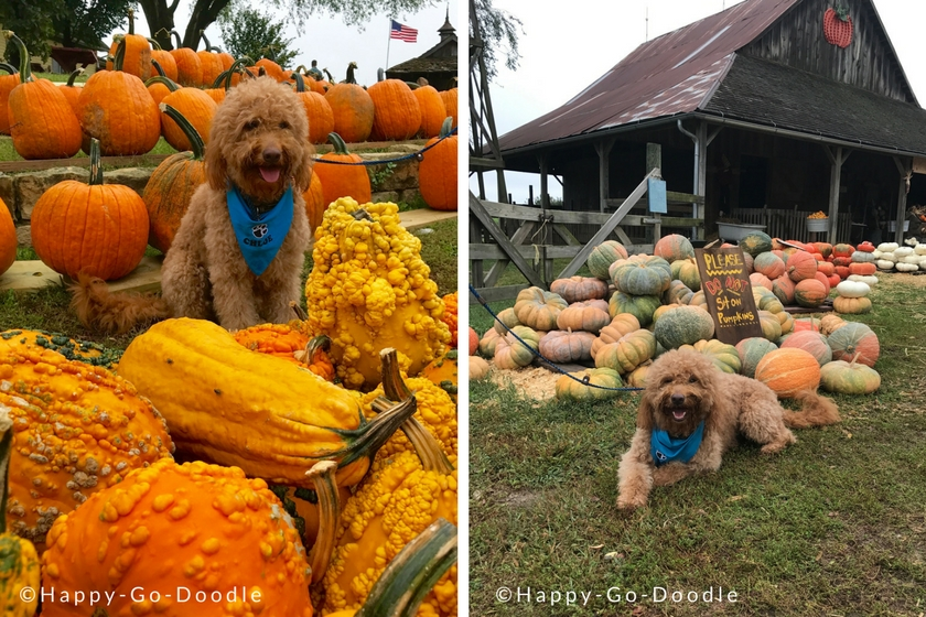 Dog-friendly pumpkin farm with piles of pumpkins and goldendoodle sitting in them. Pumpkins are everywhere in front of the barn making it one of the fun places to take your dog