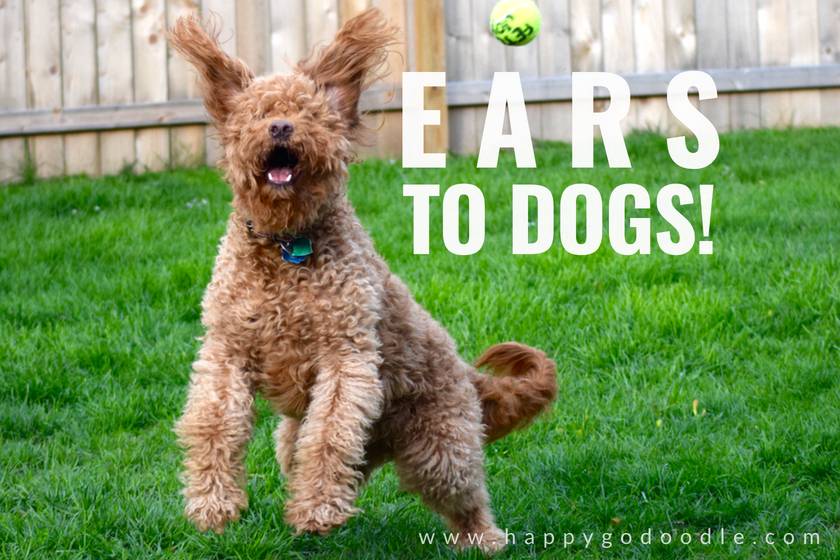 dog with ears flying up and caption ears to dogs as an example of dog play on words