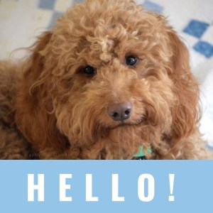 red goldendoodle dog and word hello