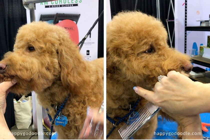 groomer showing how to trim a goldendoodle dog face by trimming dog's chin