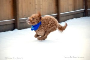 red goldendoodle dog doing zoomies in snow on the night before christmas