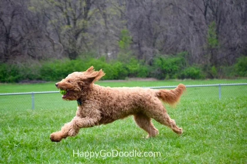 goldendoodle running at full stride across green grass