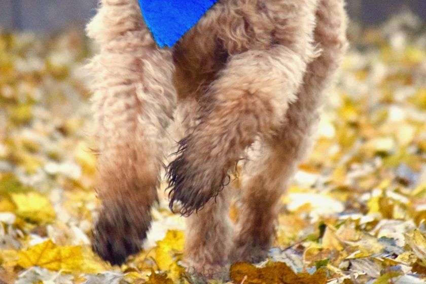 red goldendoodle's muddy feet running through leaves showing importance of mobility in dogs
