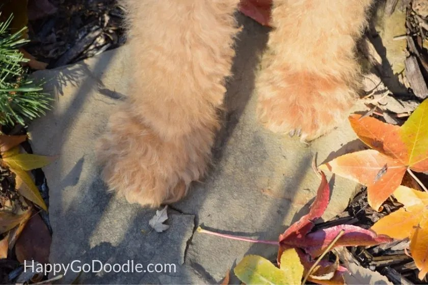 red goldendoodle dog's paws with dark nails peeking out from under fur