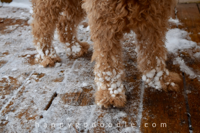 Goldendoodle feet with snow stuck to them