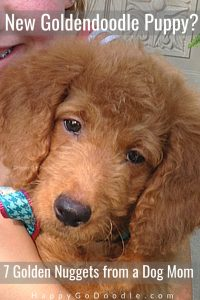red goldendoodle puppy face and title New Goldendoodle Puppy? 7 Tips