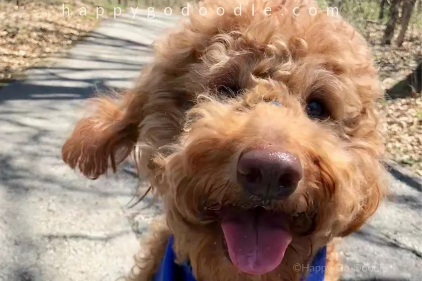 close-up of goldendoodle face with happy expression