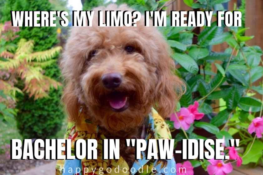 dog pun meme and Goldendoodle in Hawaiian shirt