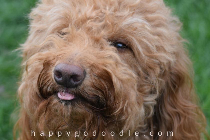 Goldendoodle dog making funny face