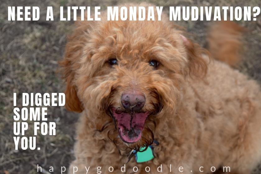 dog pun meme and Goldendoodle's muddy face