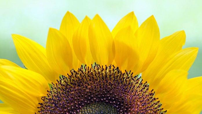 sunflower_daniella_duncan