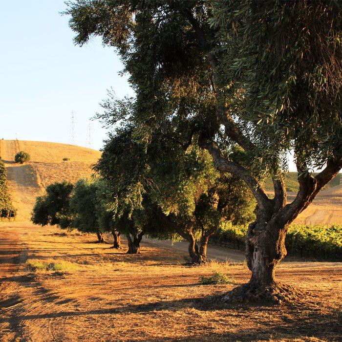 wente-tour-olive-trees-sm-ver