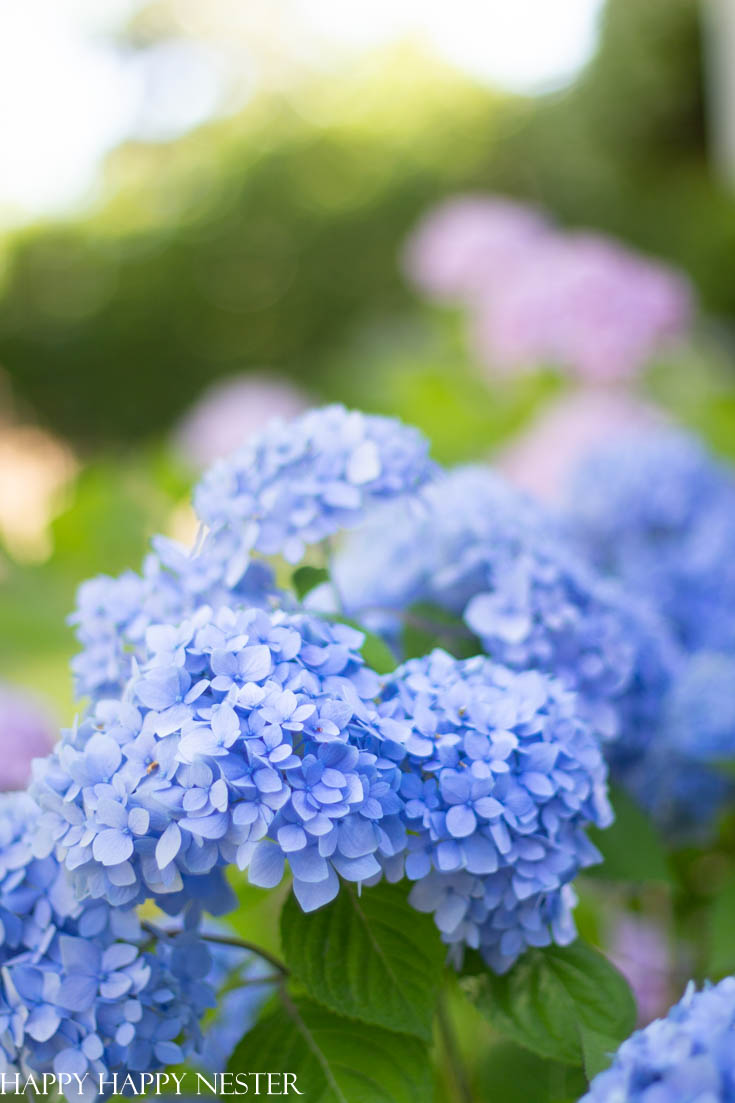 how to start a hydrangea plant from a flower stem