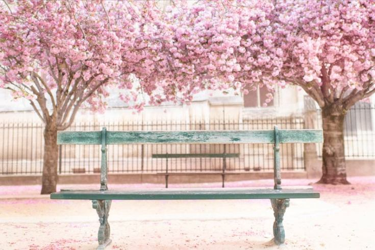 Gorgeous cherry blossoms in Paris