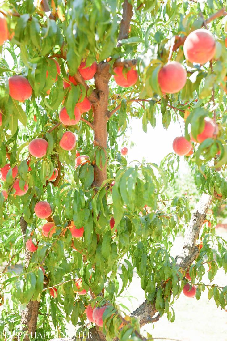 fresh farm peaches