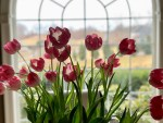 Spring Ideas - Indoor Potted Tulips