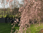 Learning the Hard Way - How to Care for a Weeping Cherry Tree
