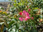 The Best Time to Deadhead Drift Roses to Encourage Repeat Blooming