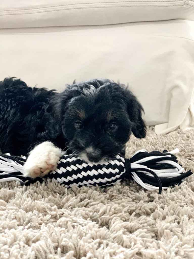 A puppy with black fur and white markings with a chew toy