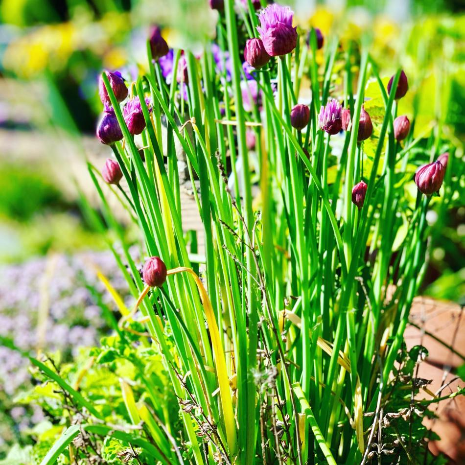 Common Cooking Ingredient Chives