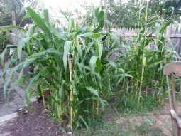 The corn was planted outside the back door this year