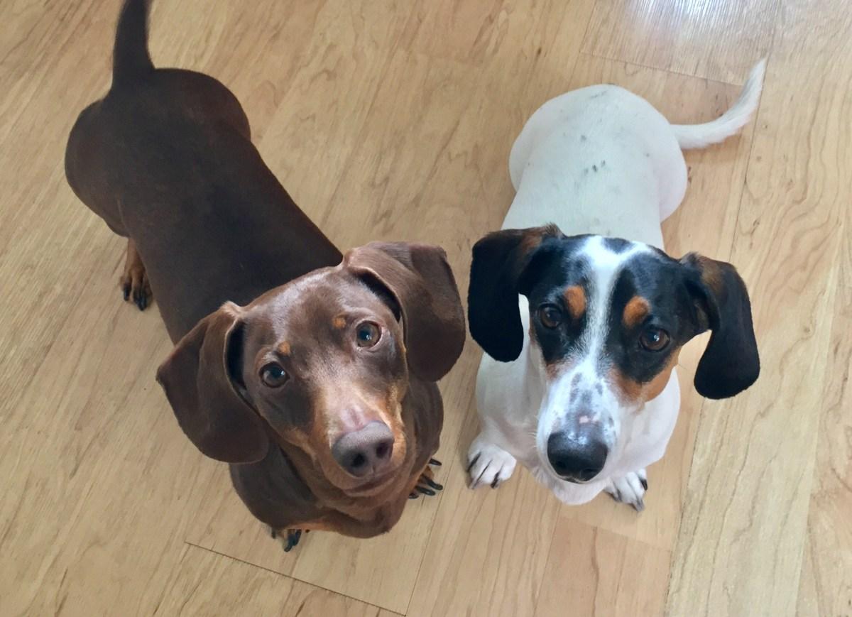 Oscar & Nittany #bakingsquad #dachshunds