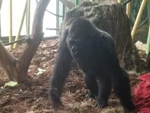 Chicago Lincoln Park Zoo Tips you need for your family trip to the zoo. Learn which animals to visit such as the polar bears, lions and Apes. Plan your day knowing where to park, eat and hours. Get ready for a fun day with the kids! #lincolnparkzoo, #chicagoattractions, #traveltips, #familyvacation