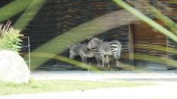 zebre-lyon