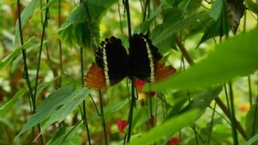 papillon_contraste_rouge_noir