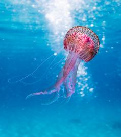 shallow-focus-photo-of-pink-and-brown-jellyfish-1076758