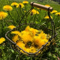 Harvesting and Preserving Dandelions – Roots, Leaves, and Flowers