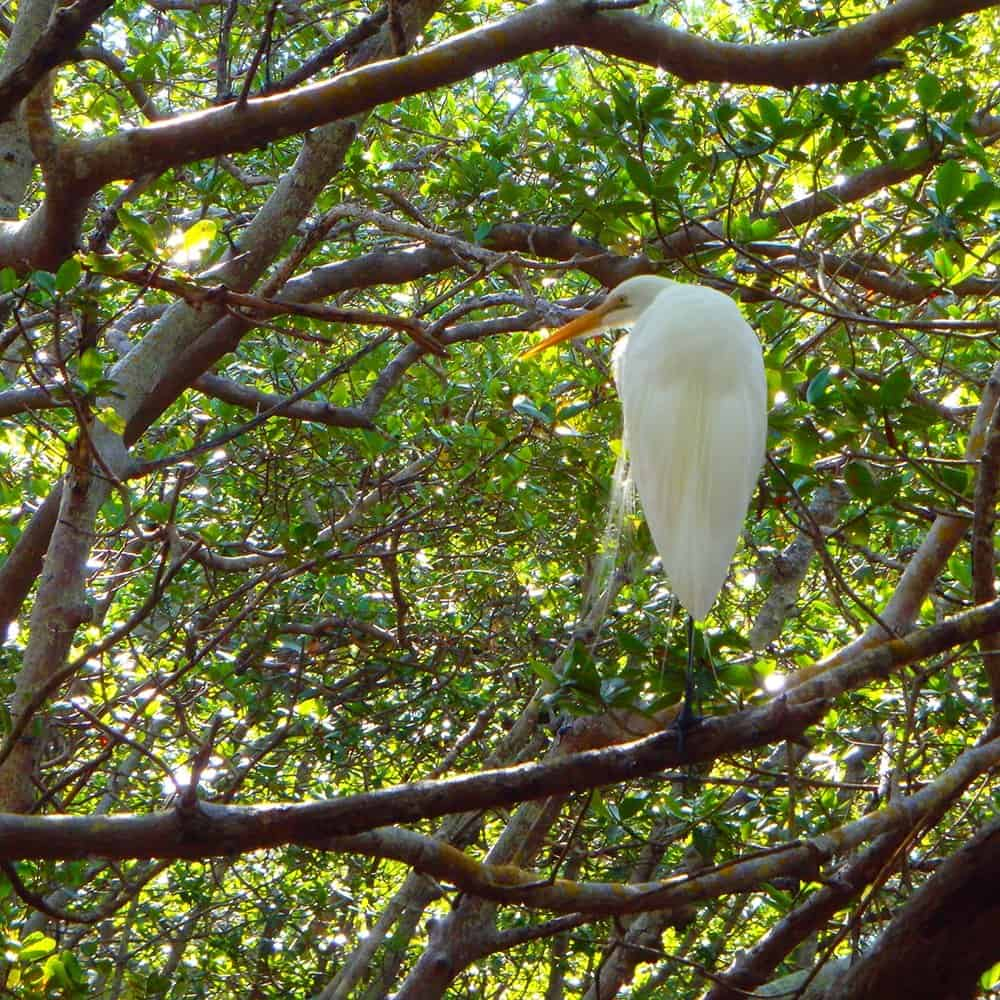 White Egret sitting in mangrove tree at Lido Key Ted Sperling Park Florida