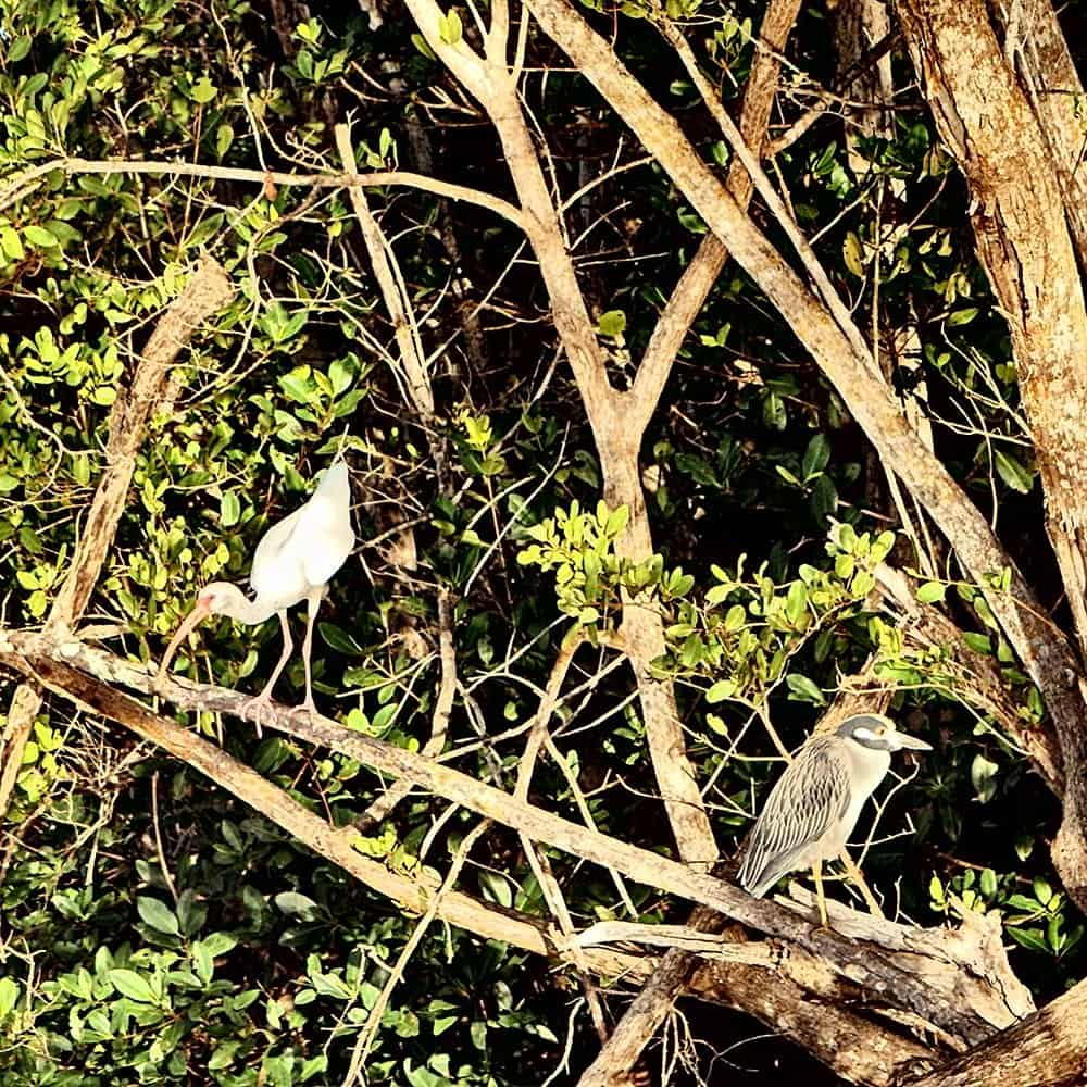 White Ibis and Night heron birds sitting together in mangrove trees
