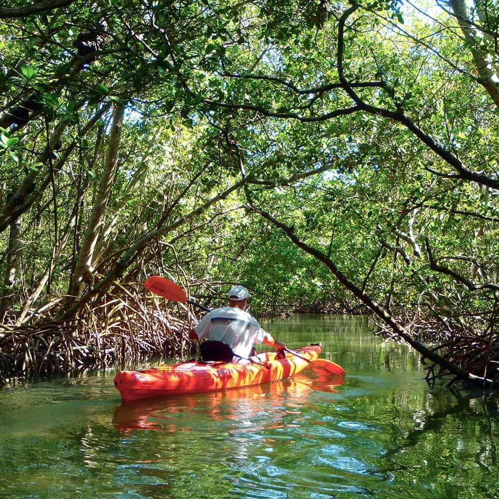 Single kayaker paddling through the mangrove tunnels in Sarasota Florida