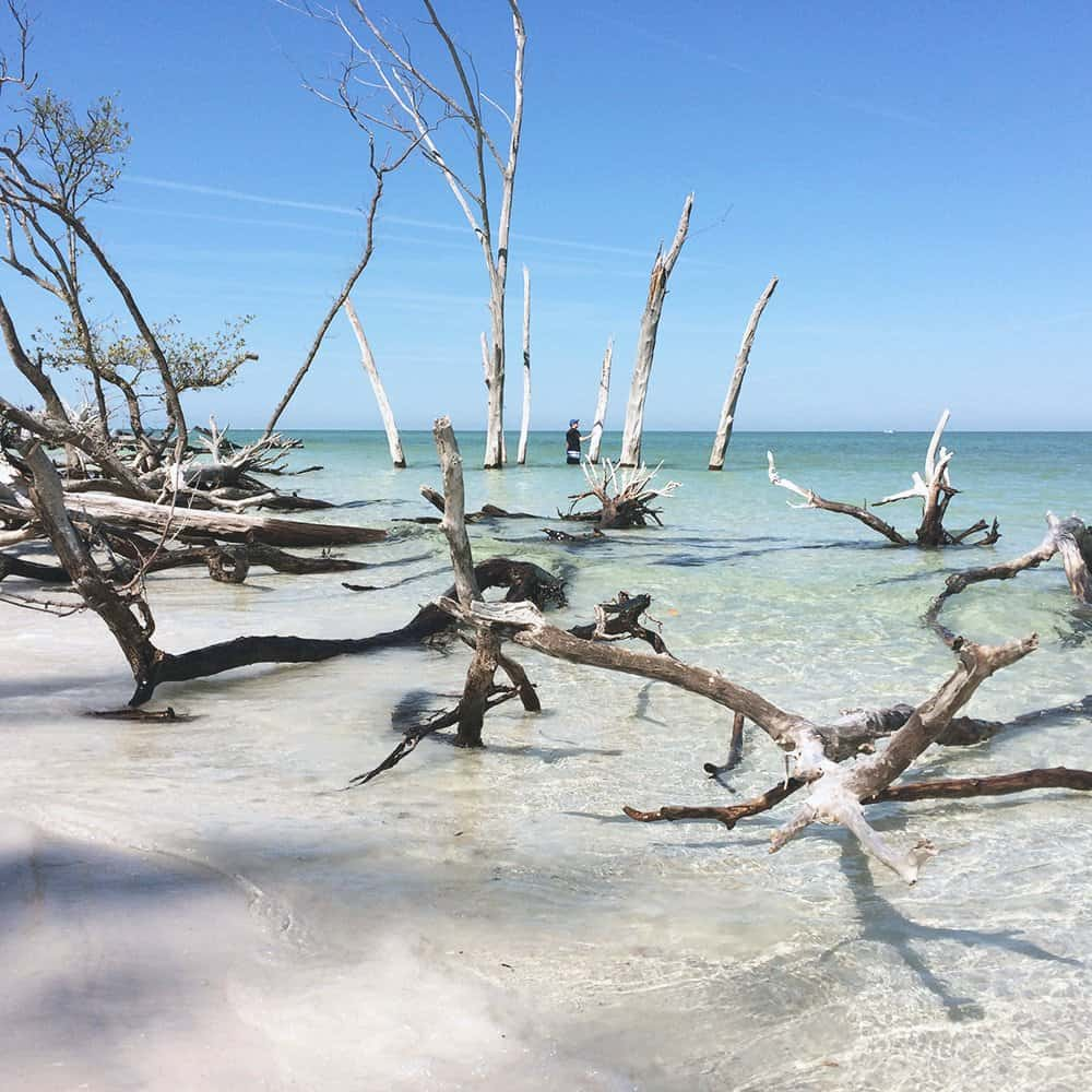Driftwood trees in crystal clear water on secluded beach in Longboat Key Florida