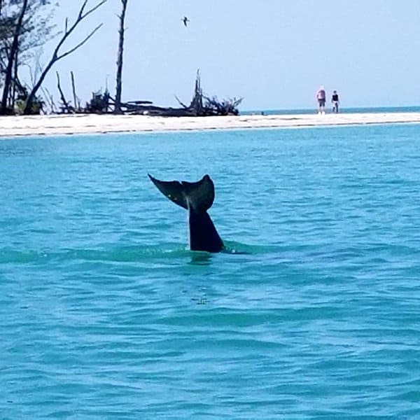 Dolphin swimming in Longboat Pass near Anna Maria Island with tail out of water