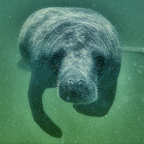 Manatee swimming toward the camera on the Coastal Island Tour at Longboat Pass Florida