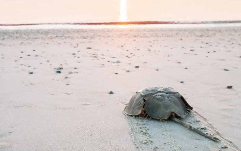 Horseshoe crab crawling back to the ocean on the beach on Longboat Key at sunrise