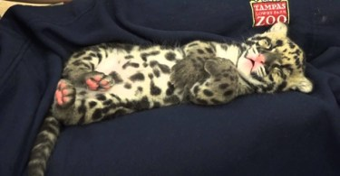 Sleeping Tiny Clouded Leopard Cub Will 100 % Melt Your Heart