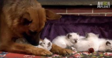 What Happens When German Shepherd and Tiny Kittens See Each Other For the First Time Is Really Amazing