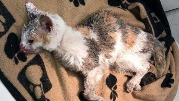 Dying Poor Cat Found Malnourished and Covered in Paint on Highway