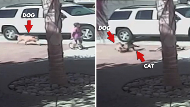 Brave Kitty Saves Kid From BRUTAL Dog Attack. Unbelievable VIDEO !