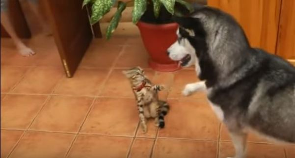 Husky And Kitty Greeting Each Other With Touching Their Paws. Heartwarming VIDEO !