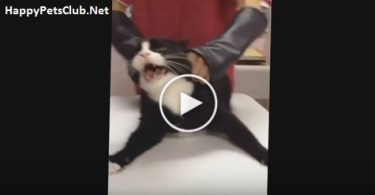 Angriest Cat Attacks The Vet. Never Seen Anything Like This Before