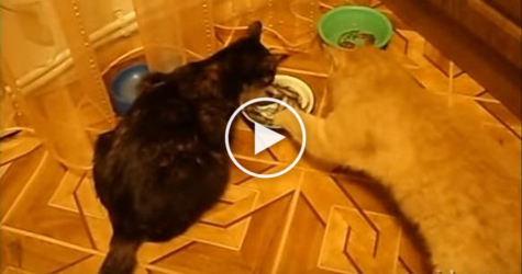 Cats Don`t Want To Eat Together. One Kitty Stole The Plate.