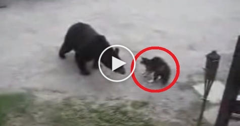 Hero Cat Protects Family From Angry Bear. Brave Kitty !