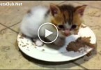 Cute Lovely Kitten Purring In Food. This Video Will Melt Your Heart. Aww