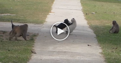 Monkeys Break Up Cat Fight. Incredible Video !